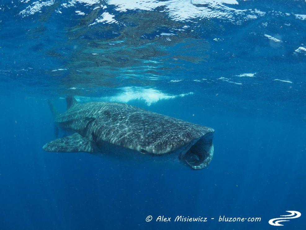 whaleshark-isla-mujeres